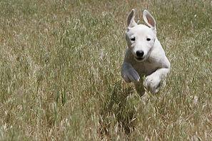 Canine Demodex