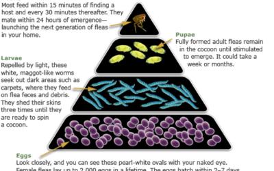 Flea Control Guide