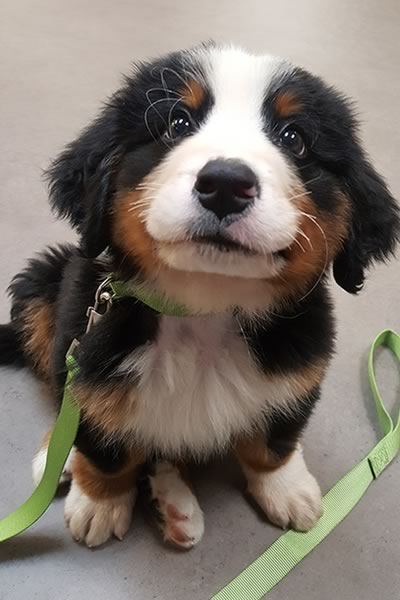 Second Chance Bernese Puppy